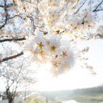 フリー写真素材:朝桜