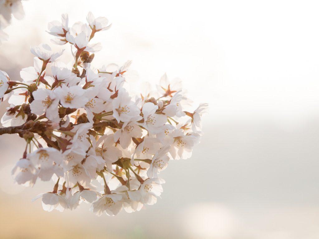 桜・さくら・サクラ・sakura